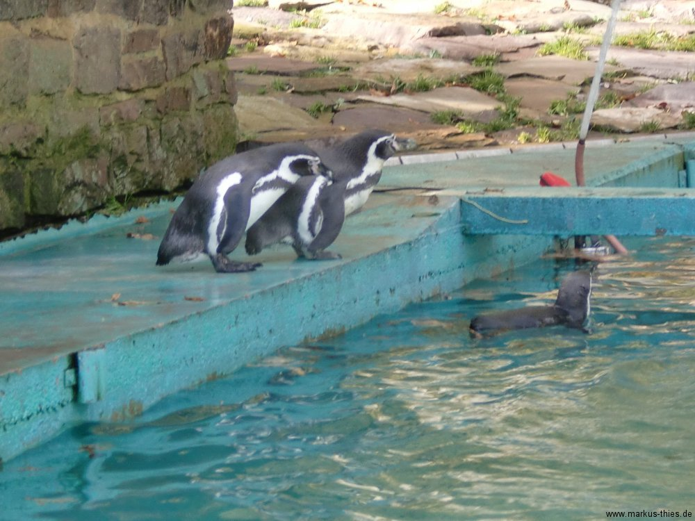 pinguine-sababurg
