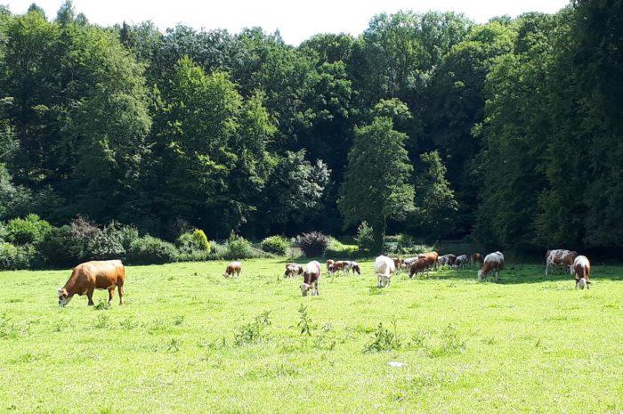 eine Kuh macht muh, viele Kühe machen mühe