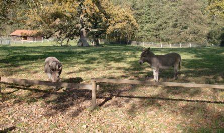 Esel auf der Sababurg