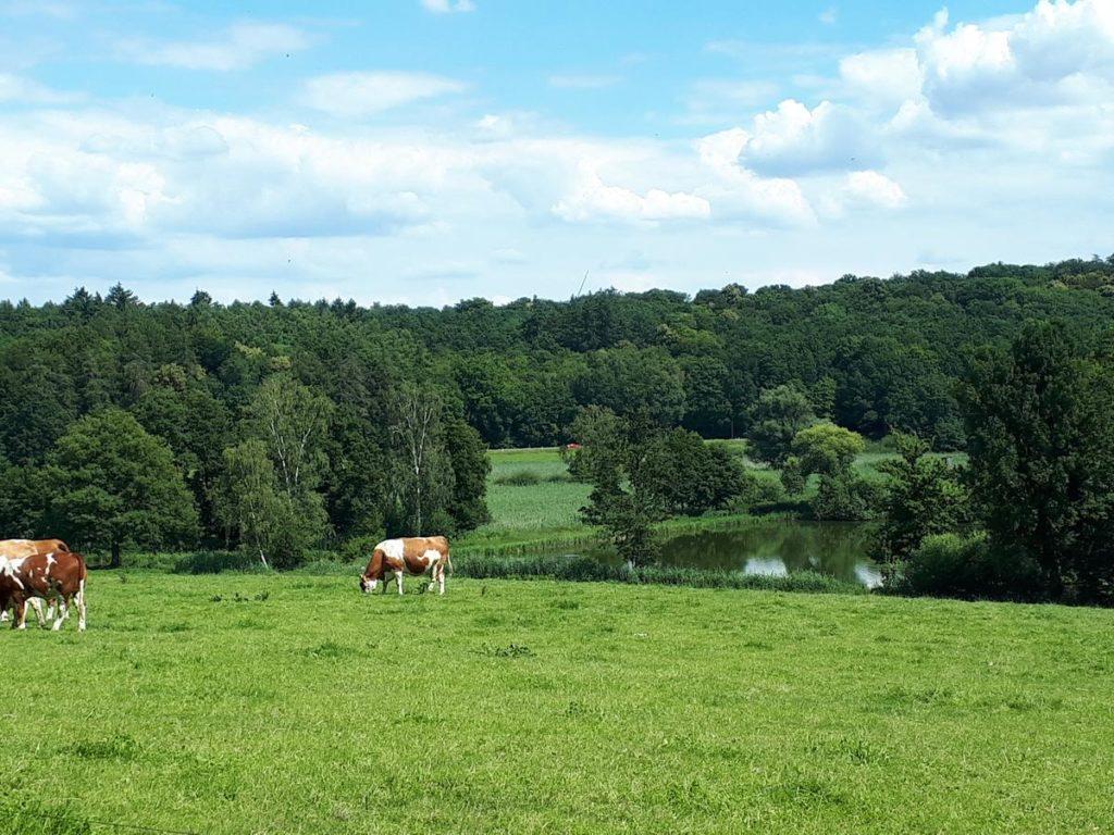 Kühe am Teich